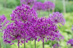 Purple Allium flower. - stock photo