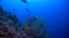 School of Giant Trevallies and Whitetip Reef Sharks Stock Footage