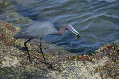 Blue Heron On A Barnacle-Covered Boulder With a Tiny Fish, Blue Water Behind - stock photo