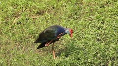 Purple Gallinule bird Stock Footage