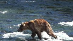 Brown Bear in Water Sees a Salmon and Charges Offscreen Stock Footage