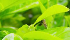Bee dropping onto a leaf below before flying away - stock footage