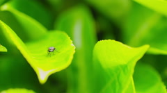 Fly on a green leaf rubbing it's front legs as a cleaning function Stock Footage