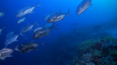 School of Giant Trevallies and Whitetip Reef Sharks - stock footage