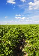 Potato field Stock Photos