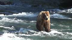 Brown Bear in River Dives Towards Camera at a Salmon Stock Footage