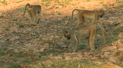 Wild Dogs in the South Luangwa National Park Stock Footage