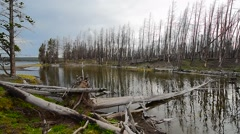 Dead forest in Yellowstone National Park Stock Footage
