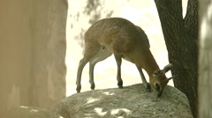 Klipspringer Jumping off Boulder Stock Footage