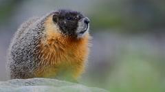Marmot Standing On Rock - stock footage