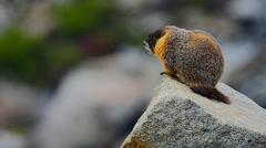 Marmot Waiting On Rock - stock footage