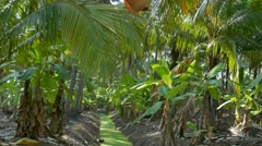 Coconut Cultivation, Palm Tree Stock Footage