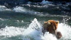 Brown Bear in River Charges After Fish Then Seeks Them Downstream Stock Footage