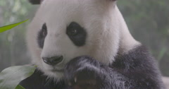Giant panda eating green bamboo leaf Stock Footage