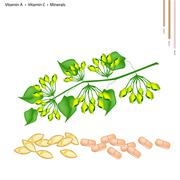 Cowslip Creeper Flower with Vitamin A and C - stock illustration
