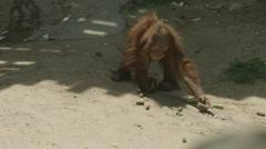 Baby Orangutan Collecting Food Stock Footage