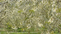 Old growth cherry tree in bloom + pan orchard Stock Footage