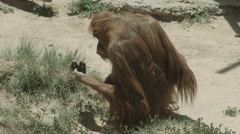 Orangutan Eating Grass Stock Footage