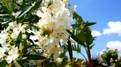 Flowering Nerium oleander (4K) Stock Footage
