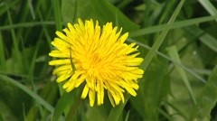 Yellow dandelion (Taraxacum officinale) in full bloom Arkistovideo