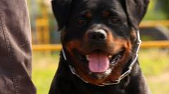 Rottweiler portrait Stock Footage