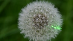 Laser beam on dandelion flower head (puffball) Stock Footage