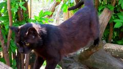 Black cat climbing tree Stock Footage