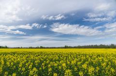 Springtime landscape over natural oilseed rape field Stock Photos