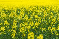 Natural springtime oilseed rape field closeup - stock photo