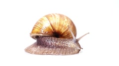 Garden snail crawling in front of white background Stock Footage