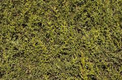 Cypress background - stock photo