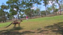 Stock Video Footage of Kangaroo in Cairns, Australia