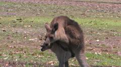 Kangaroo in Cairns, Australia - stock footage