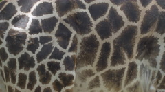 Closeup of giraffe skin pattern - 4k Stock Footage