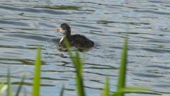 Chick of black coot diving in a pond Stock Footage