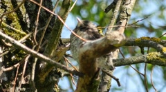 Thrush chick sitting in a branches of tree and opening beak Stock Footage