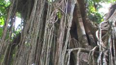 Stock Video Footage of Australian Rainforest near Cairns, Australia