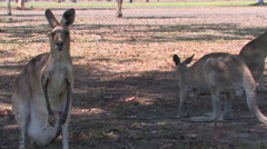 Kangaroo in Cairns, Australia Stock Footage