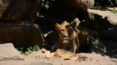 Female lion resting Stock Footage