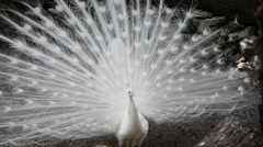 close up of a white peacock - stock footage