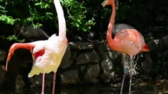 Pink and white flamingos in a pond Stock Footage