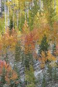 Autumn woodland with aspen trees in bright fall colours. - stock photo