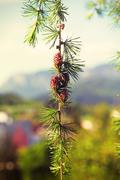 Branch with cones. Larix leptolepis, Ovulate cones of larch tree - stock photo