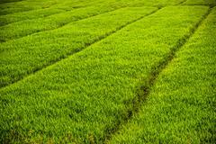 Vast fields of rice - stock photo