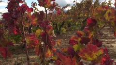 Stock Video Footage of Vineyard leaves and tree in campaign
