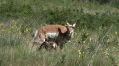 Pronghorn, Antelope, Doe, Fawn, American West, Cabri Stock Footage
