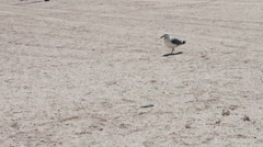 One leg Gull on the beach, is on the beach and looking for food in the Stock Footage
