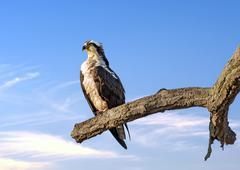 Osprey Reverence - stock photo