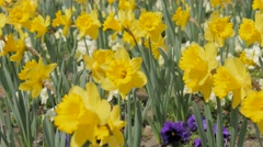 Baeutiful Narcissus pseudonarcissus flower garden waving  on the wind 4K 2160 Stock Footage