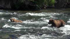 A Courting Pair of Brown Bears Wades Upstream and Both Dive for Fish, Miss Stock Footage
